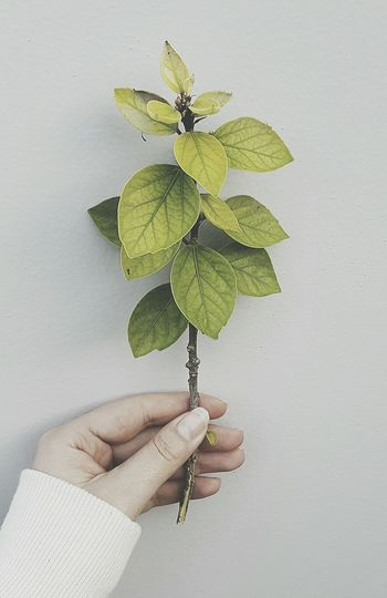 Human Hand Leaf Holding Leisure Activity Gardening Close-up Plant Green Color Freshness Growth Branch Enjoy The New Normal Herbal Medicine Grass Business Stories
