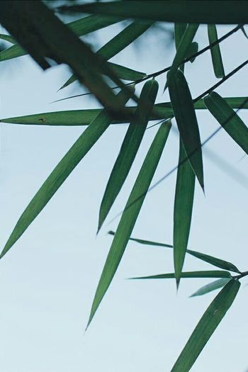 Natural Beauty PhonePhotography Nature_collection Bamboo Bamboo Tree... Bamboo Leaf VSCO Edit Photo Eyemphotography 平海 惠州 Green Green Leaves