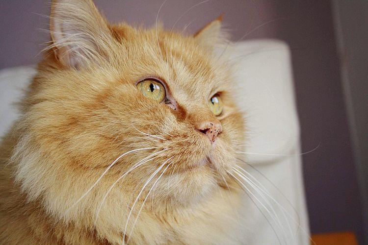 💛 Cat Domestic