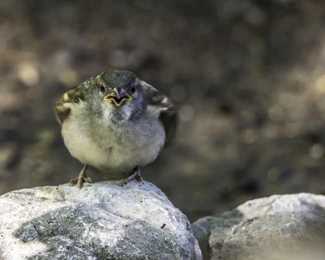 Female house sparrow and myself in a staring contest. Passeridae Animal Animal Themes Animal Wildlife Animals In The Wild Avian Beauty In Nature Bird Close-up Focus On Foreground Nature No People One Animal Ornithology  Passer Domesticus Perching Rock Rock - Object Young Animal