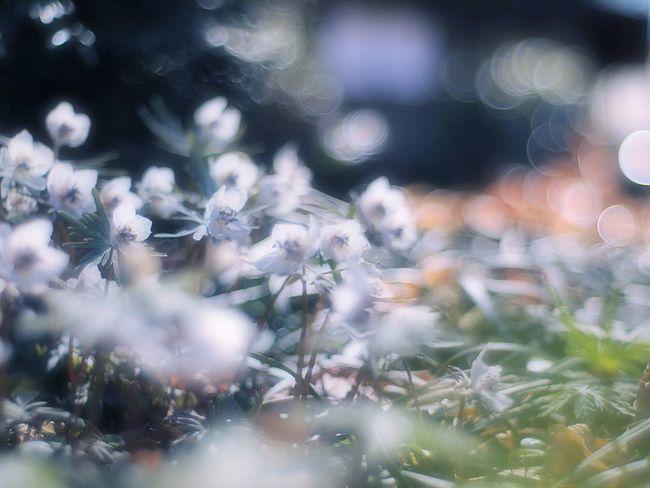 素敵な夢が見れるといいね! Takumar Bokeh Colors Bokeheffect 玉ボケ Enjoying Life Taking Photos Flower Collection Relaxing Spring Time Flowers EyeEm Nature Lover EyeEm Flower Spring Colours Fleshyplants Spring Airy Airy Flowers Dreamfantasy