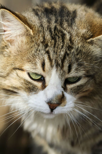 House cat Animal Animal Body Part Animal Eye Animal Head  Animal Themes Cat Close-up Day Domestic Domestic Animals Domestic Cat Eye Feline Looking At Camera Mammal No People One Animal Pets Portrait Snout Tabby Vertebrate Whisker