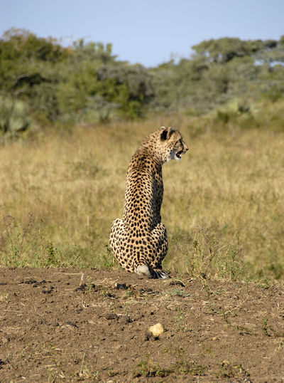 Cheetah Sitting On Field At Forest