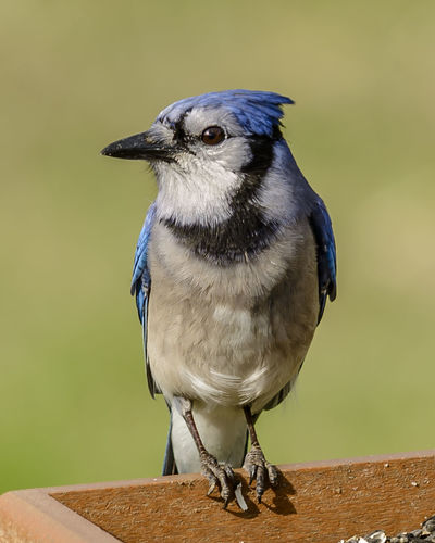 Close-up of blue jay perching on wood