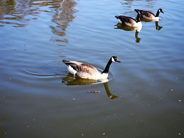 Wildfowl Water Animals In The Wild Lake Bird Animal Themes Animal Wildlife Group Of Animals Animal Swimming No People Nature Day Animal Family