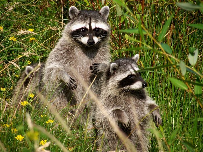 Raccoons lost