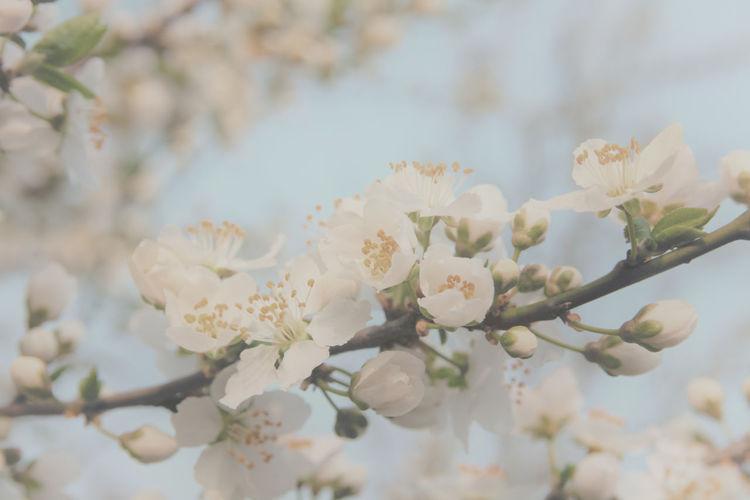 Apple Blossom 4