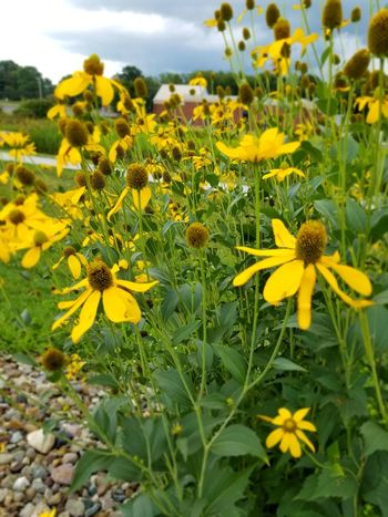 Flower Flower Plant Growth Nature Yellow Petal Beauty In Nature Fragility Flower Head Freshness No People Day Outdoors Green Color Cloud - Sky Outdoor Pursuit Black-eyed Susan Close-up Sky