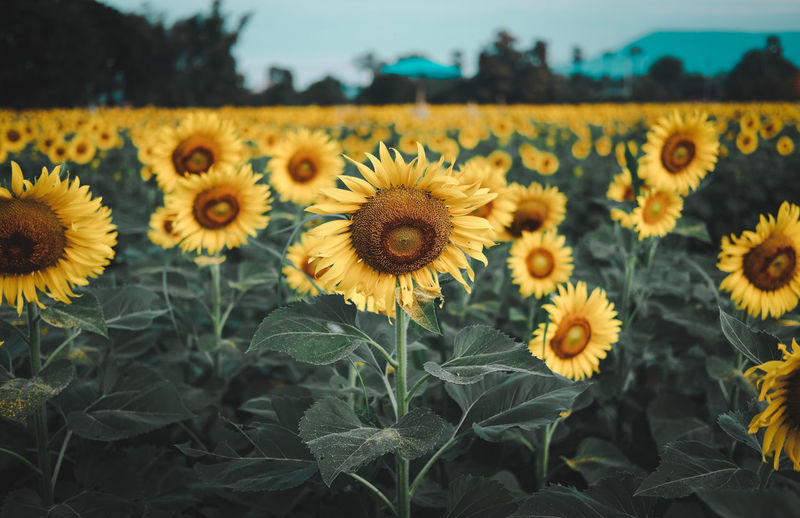 Close-up of sunflowers on land