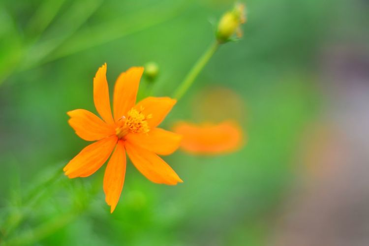 Flower Flower Head Orange Color Nature Petal Beauty In Nature Fragility