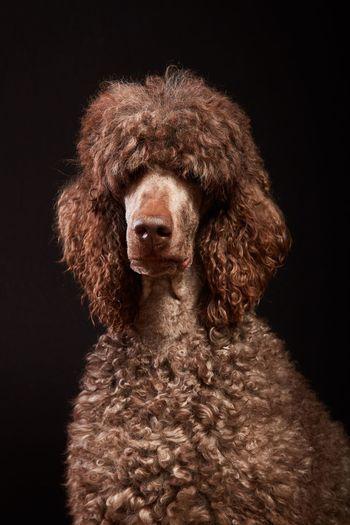 Close-up of a dog over black background