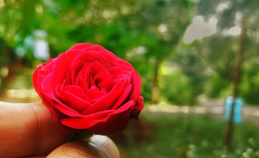 My hostel garden Rose Petals Red Rose Beautiful Nature