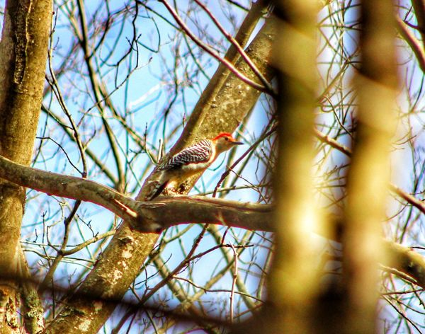 My pal Woody! One Animal Animal Themes Bird Animals In The Wild Tree Nature Low Angle View Branch Animal Wildlife Perching No People Outdoors Bare Tree Sky Day Beauty In Nature woodpecker