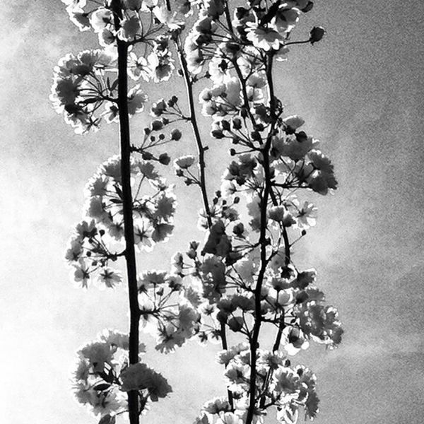 Sky Trees Blackandwhite Spring Springtime Clouds And Sky Flowers Spring Flowers Flower Bloom Blooming Sunshine