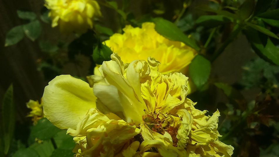 Nature Photography Nature_collection Close-up Garden Photography Eye4photography  Roses_collection Eyeemphotography Beauty On Our Doorstep Yellow Rose
