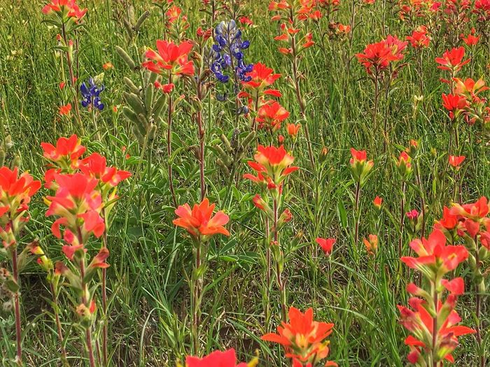 Indian Paintbrush Flowers Indian Paintbrush Bluebonnets Bluebonnet Indian Red Blankets Texas Wildflowers Texas State Flower Texas Landscape Texas Springtime Flower Collection Flowers Wildflower Wildflowers EyeEm Flower Flowers, Nature And Beauty IPhone Eye4photography  EyeEm Nature Collection EyeEm Nature Lover Backgrounds EyeEm Nature Lovers Nature Photography IPhoneography Flower Growth Nature Petal Field Red Beauty In Nature Freshness Plant Fragility Blooming Flower Head No People Grass Day Green Color Outdoors Close-up