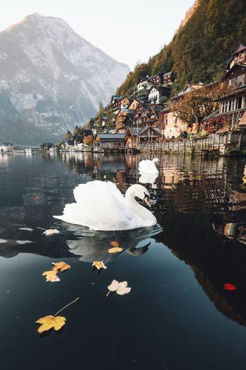 Water Mountain Lake Animal Themes Bird Animal Animals In The Wild Vertebrate Animal Wildlife Swan Nature Day Architecture White Color Reflection Beauty In Nature Floating On Water Swimming Built Structure Building Exterior Sunrise Hallstatt Nature Beauty In Nature Beautiful