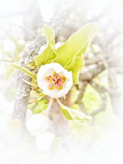 Pear Tree  Pear Flowers Flower Detail White Flower Fruit Flower Tree Flower White Background White Vignette With Flower Pink Fragile Beauty Pure Nature Selective Focus Springtime Romantic