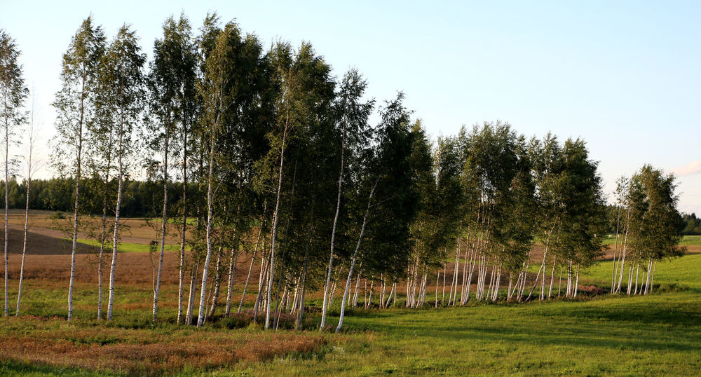 Birch Grove Birch Trees Lettland  Birches Birch Tree Birch Wood Birch Latvijasdaba Birken Travelling The Baltic States Latvian Forest Latvija The Great Outdoors - 2016 EyeEm Awards Enjoying Life Latvia