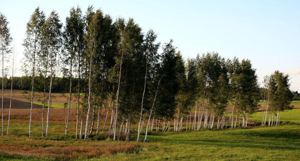 Birch Grove Birch Trees Lettland  Birches Birch Tree Birch Wood Birch Latvijasdaba Birken Travelling The Baltic States Latvian Forest Latvija The Great Outdoors - 2016 EyeEm Awards Enjoying Life Latvia