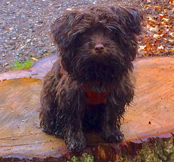 "..... unser kleines Monster ""Haari"" - Jaroslav vom Risstal 😘 Dog Dog Love Dogs Of EyeEm Pet Portraits Outdoors Pet Photography  Pet Rain Rainy Days BolonkaZwetna Bolonka Pet Portraits"