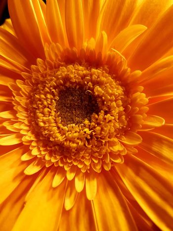 Flower Flower Head Beauty In Nature Petal Orange Color Macro Summer Sunflower Close-up Beauty Freshness Enjoying Life Feel The Journey Capture The Moment Io Sono Leggenda Italia Italy Nature Plant Personal Perspective