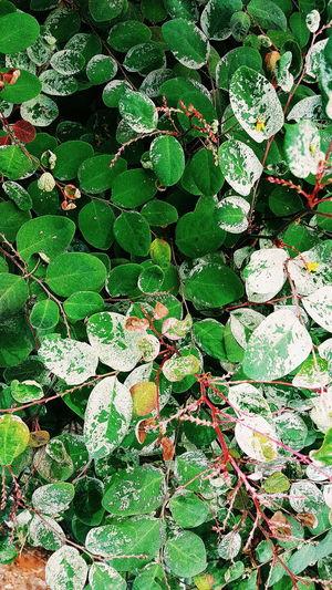 Full frame shot of ivy on plant