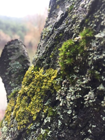 Nature Nature_collection Nature Photography Naturelovers Nature_perfection Liken Algae Fungi Mutualismsymbiosis Symbiotic Relationship Symbiosis Tree Likenature The Great Outdoors