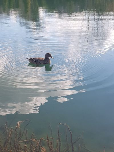 Lake Duck Riflection Couds Nature Water Swimming Animals In The Wild Lake Animal Wildlife One Animal No People Day Animal Themes Outdoors Bird Beauty In Nature