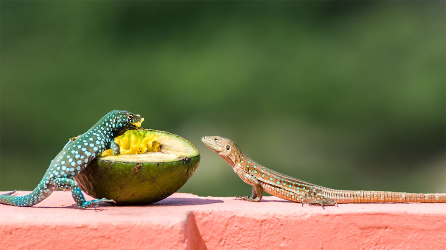 Lunching Lizards Aruba Bonaire Green Klein Curacao Lizard Lizards Whiptail Blue Lizard Animal Themes Avocado Blauw Blauw Blue Dot Blue Spots Caribbean Caribbean Lizard Close-up Curacao Fruit Klein Bonaire Lizards Eating No People Outdoors Perching Pink Color Reptile