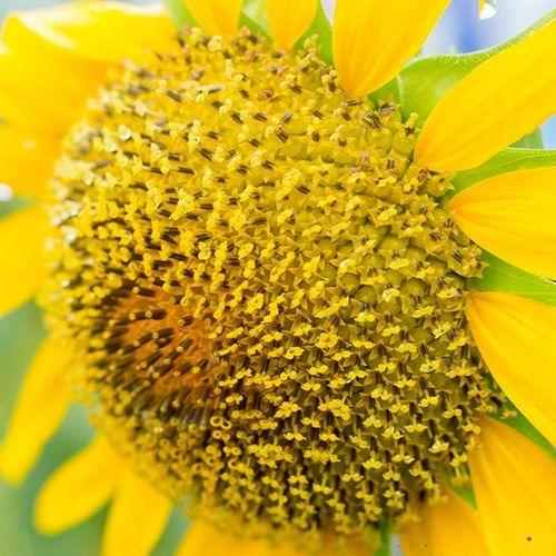 向陽 向日葵 葵花 花開花落 開花 結果 種子 日光 帶著鏡頭趴趴照 🌞🌱🌻💐🍃 😁 面對殘酷的烈日 我願向陽到最後 太多的情緒 沒適當的表情 最想說的話 我該從何說起 謝謝妳陪我到最後 我將會護妳到最後 讓葵花向陽到最後☺