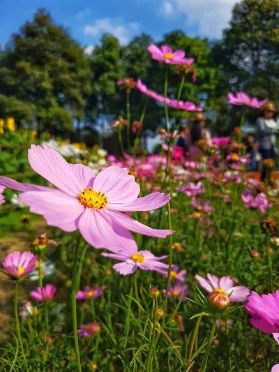 ดอกไม้บาน ดอกไม้ ดอกไม้ (Flower) ดอกดาวกระจาย Flower Fragility Petal Pink Color Growth Nature Flower Head