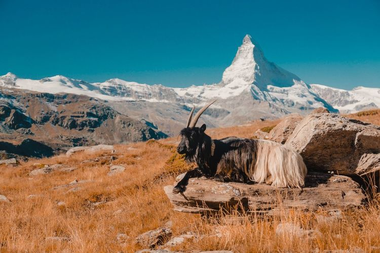 Goat Resting On Mountain Against Clear Blue Sky During Sunset
