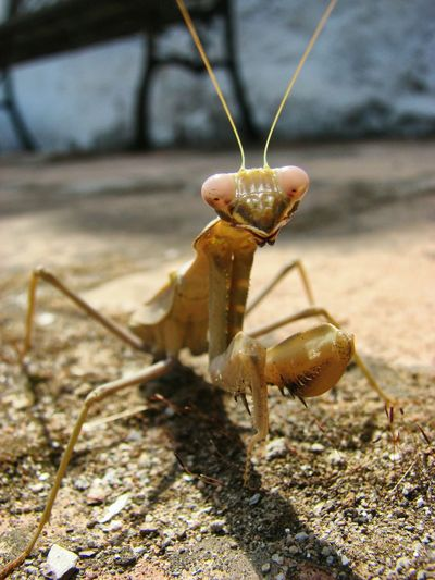 In the gaze of the mantis. Finca Caracol Praying Mantis Mantids Insects  Insect Photography Nature Photography Macro_collection Insect Macro  Mantide Religiosa Andalucia, Spain Insects Of The World Andalucia Rural