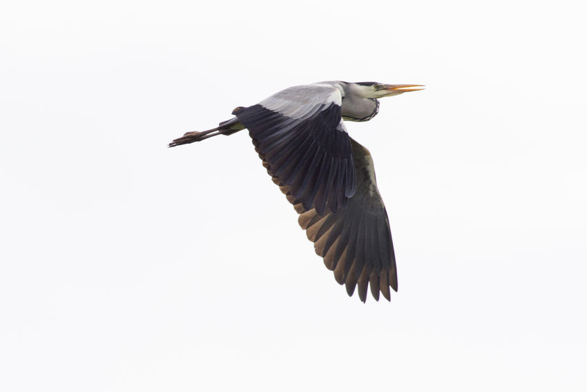 A grey heron is searching for fodder in Beeder Bruch Animals Posing Animal Wildlife Ardea Cinerea Birds In Flight Birds Life Birds World Birds_collection Feather  Flight Flying In The Sky Grey Heron  Heronshead Meadows And Fields Naturelovers Outdoors Photography Plumage Searching For Fodder Wingspan