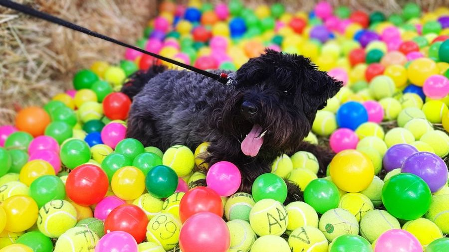 Black dog with colorful balls