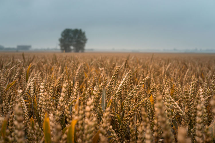 In the Wheat Agriculture Beauty In Nature Cereal Plant Close-up Day Field Growth Landscape Nature No People Outdoors Sky