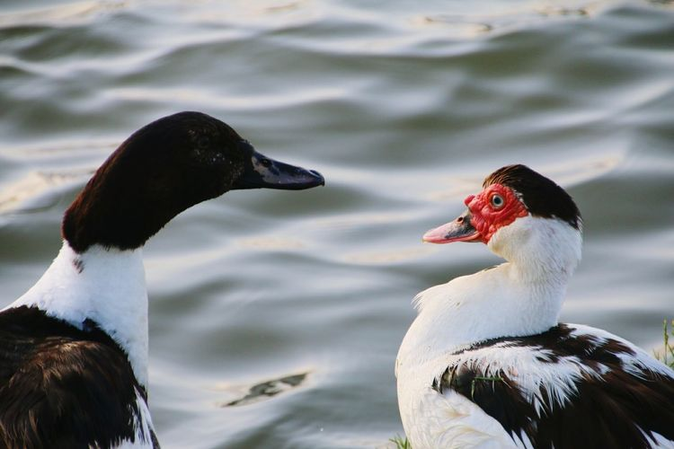 Muscovy ducks by rippled lake