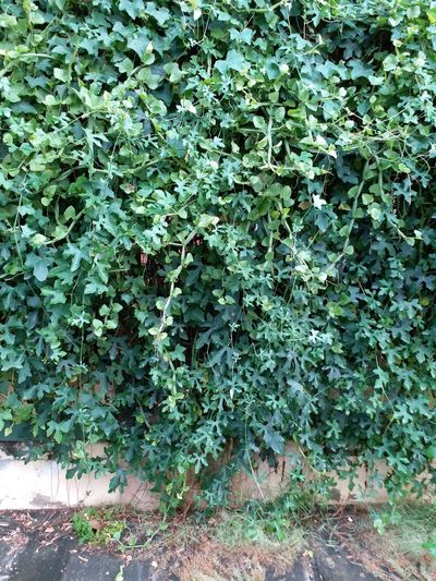 Leaves Coccinia Grandis Growth Plant Nature Outdoors Green Color Day Leaf Ivy No People