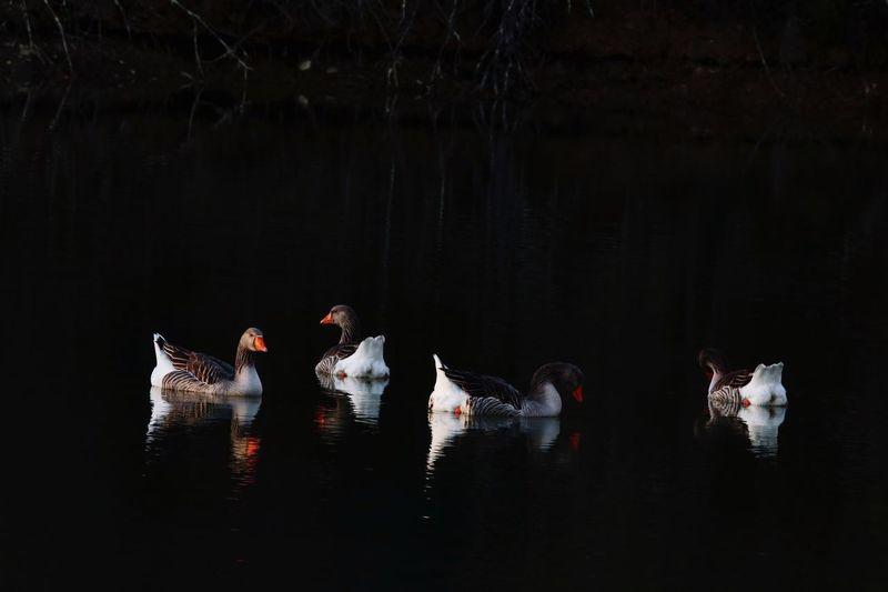 Birds swimming on lake at night