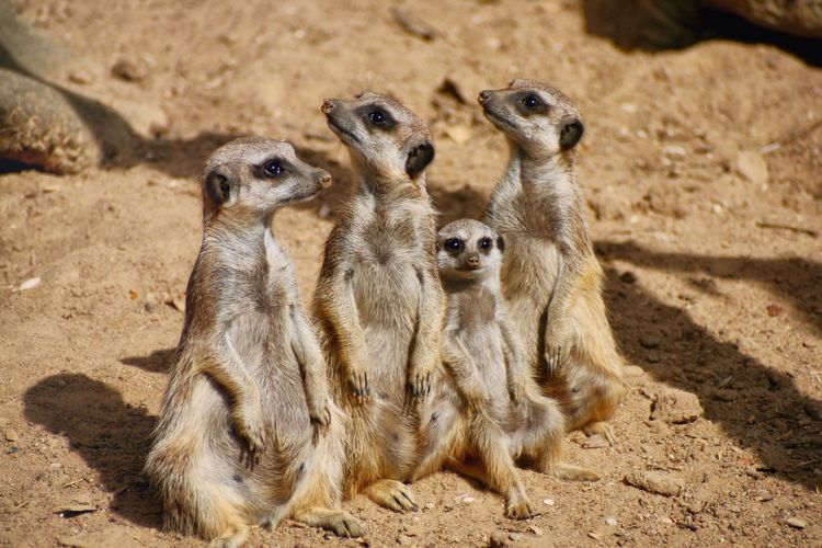Meerkat Focus On Foreground Mammal Nature Animal Themes Sand Animals In The Wild Outdoors No People Togetherness Day Meerkats Family Alertness Alert On The Lookout Looking At Camera Animal Animalphotography Canonphotography EyeEmNewHere EyeEm Nature Lover EyeEmAnimalLover Relaxing