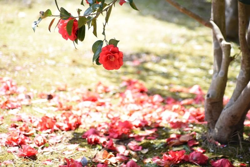EyeEm Flower Camellia Flower Plant Flowering Plant Red Beauty In Nature Focus On Foreground Nature Close-up Freshness Petal Fragility Day Outdoors