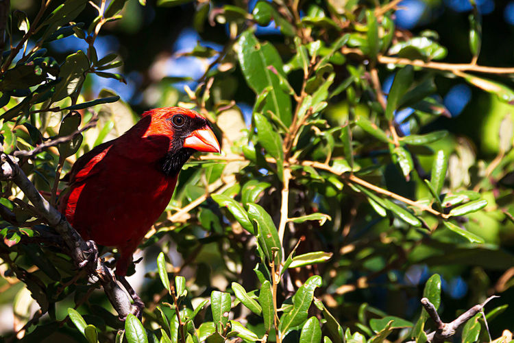 Animal Themes Animal Bird Vertebrate One Animal Animals In The Wild Animal Wildlife Perching Plant Red Tree Nature No People Focus On Foreground Cardinal - Bird Day Branch Plant Part Leaf Green Color