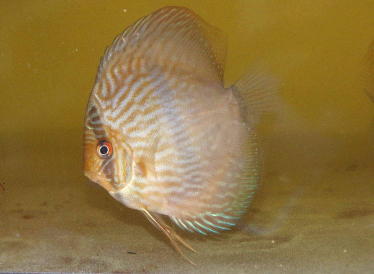 Animal Animal Shell Animal Themes Animals In Captivity Animals In The Wild Bird Close-up Discus Discussing Fish Full Length Heckel Heckel Discus Indoors  Nature One Animal Sea Life Discusfish Swimming Underwater Water Wildlife Zoology Discus Fish Discus