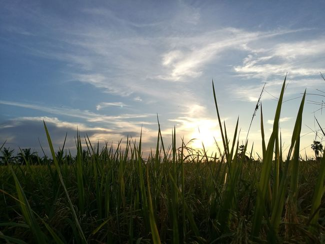 HuaweiP9 Nature Sunset Plant Sky Cloud - Sky Scenics Rices บ้านฉันเอง Vacationtime Slowlife