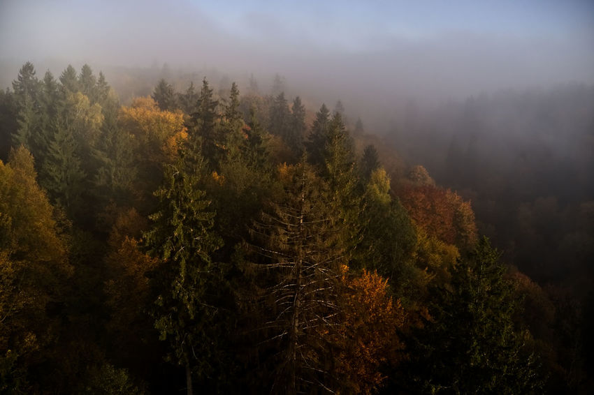Autumn Beauty In Nature Change Coniferous Tree Day Environment Fog Forest Growth Hazy  Land Landscape Mountain Nature No People Non-urban Scene Outdoors Pine Tree Plant Scenics - Nature Sky Tranquil Scene Tranquility Tree WoodLand