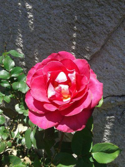 Rosas <3 Roses Rose🌹 Pink Rose Sunset #sun #clouds #skylovers #sky #nature #beautifulinnature #naturalbeauty #photography #landscape Eyem Gallery EyeEm Best Shots Eye4photography  Nature Photography