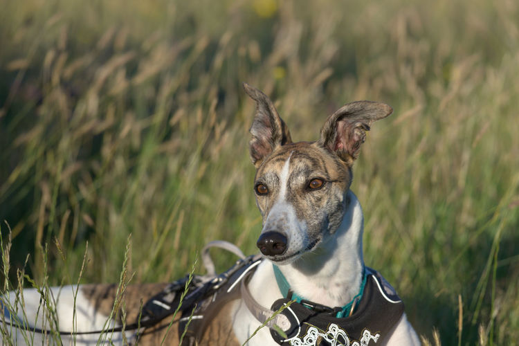 Long meadow grass background provides copy space behind an alert pet greyhound dog, lying in a field