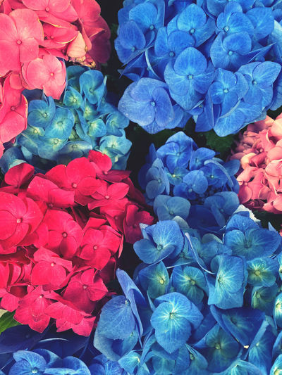 Full frame shot of blue hydrangea