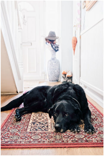 Portrait of black dog relaxing at home